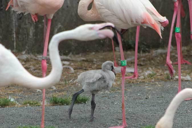 多摩動物公園ひな祭り~オオフラミンゴのヒナ_b0355317_22175601.jpg