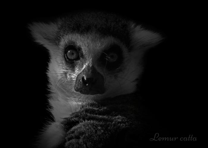 ワオキツネザル:Ring-tailed Lemur _b0249597_06285940.jpg