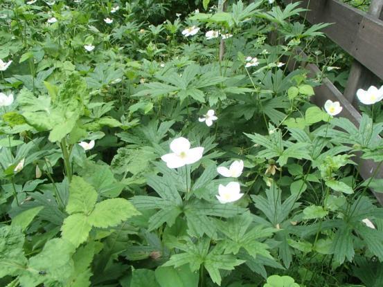 雨の合間の草取り芝刈り&今の花たち_f0064906_16073817.jpg