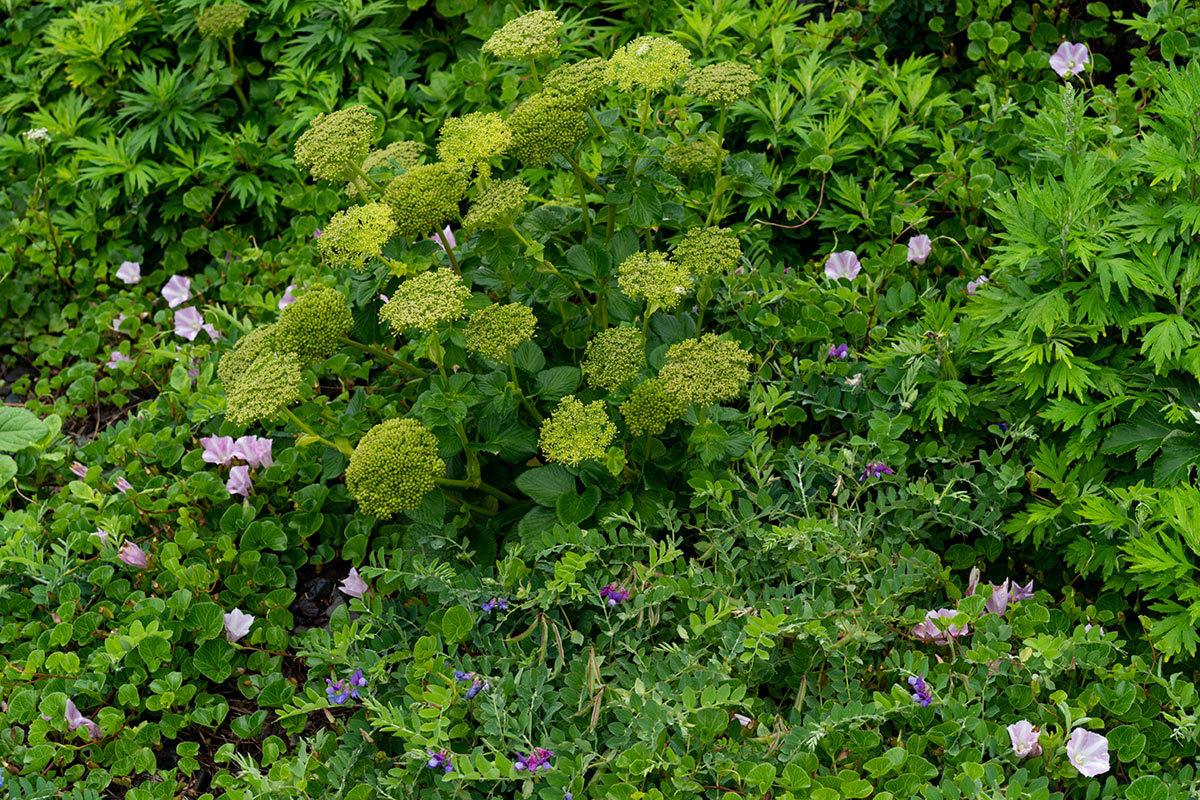 礼文 天上の花園を行く Rebun Isle, Hokkaido #SONYα9_c0065410_22594377.jpg