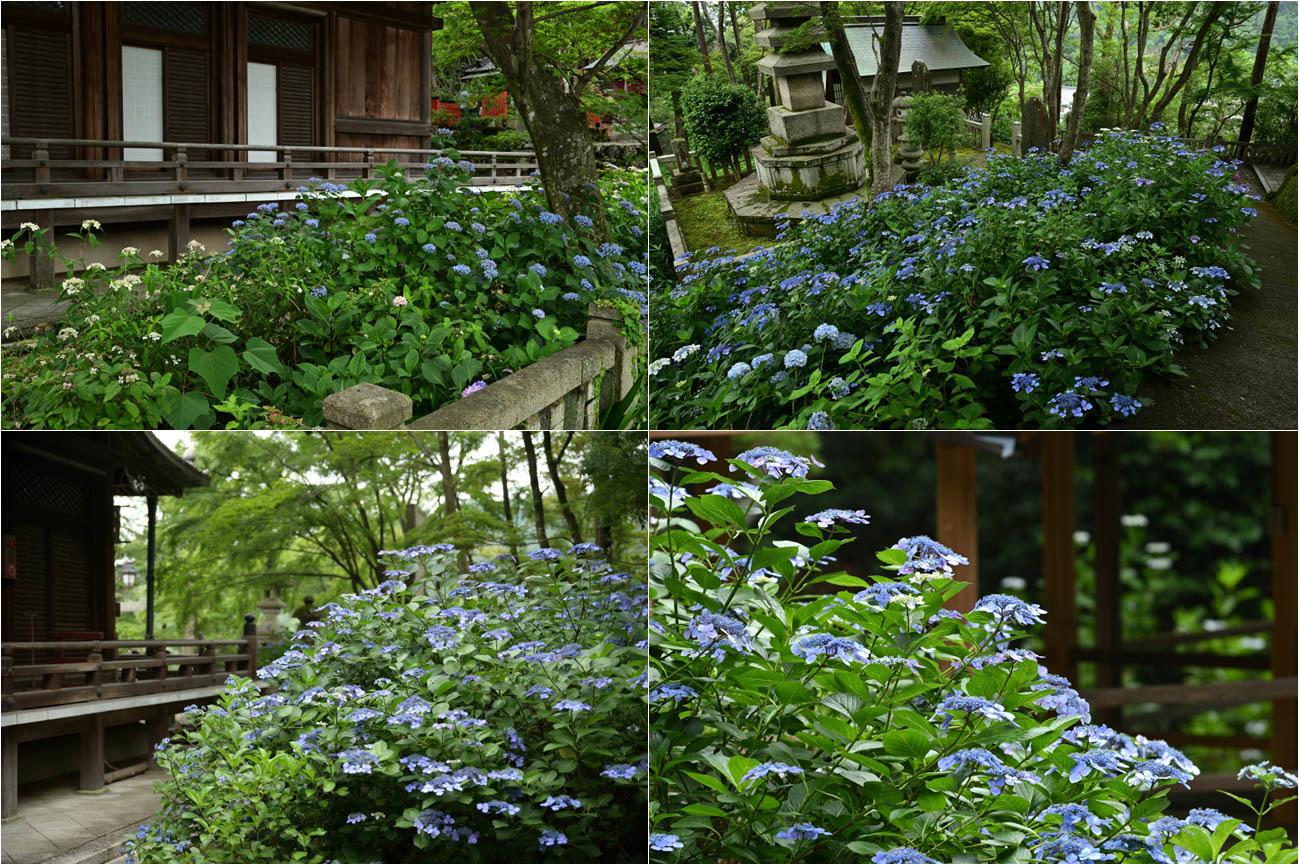 京都紫陽花寺_e0272231_15511775.jpg