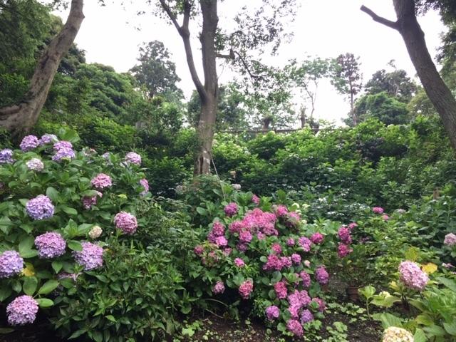 来年に向けての準備に! 葛原岡神社の紫陽花を♪_d0108933_01553112.jpg