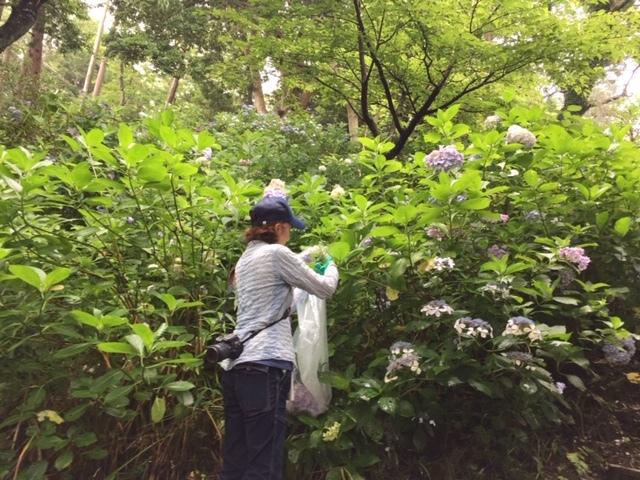 来年に向けての準備に! 葛原岡神社の紫陽花を♪_d0108933_01554533.jpg