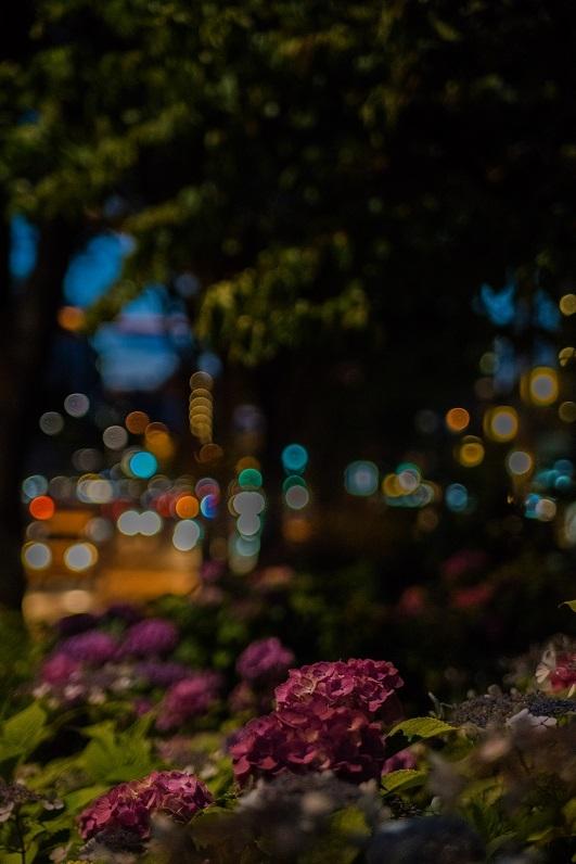 御池通り沿いの紫陽花_e0363038_14235956.jpg