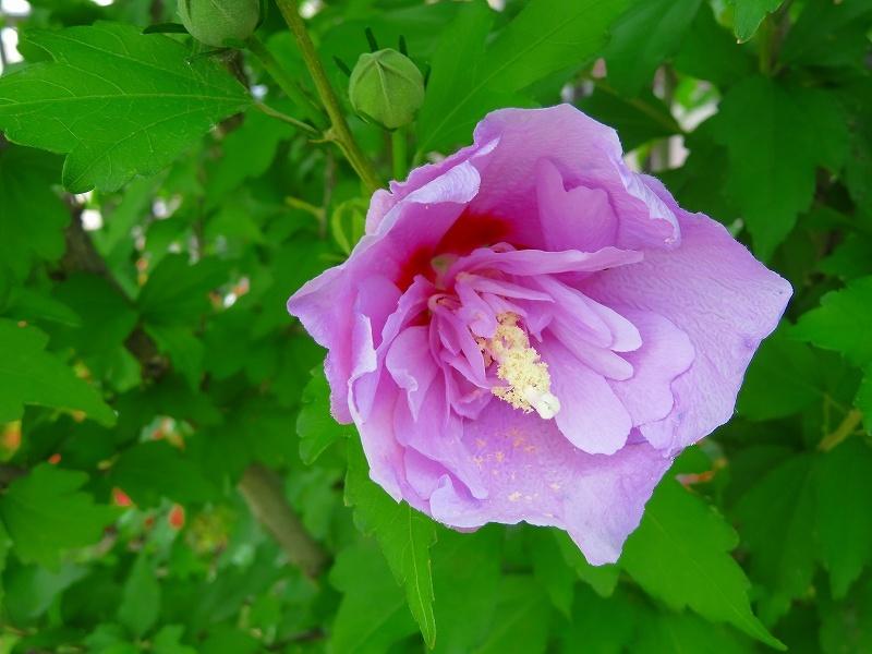 京都木屋町通の花々20190628_e0237645_19143549.jpg