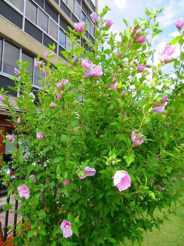 京都木屋町通の花々20190628_e0237645_19143574.jpg