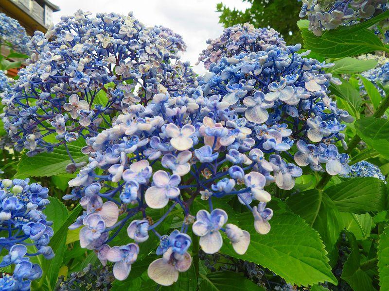 京都木屋町通の花々20190628_e0237645_19151827.jpg