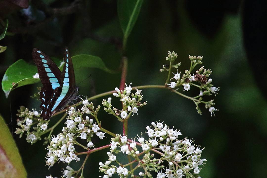 珊瑚樹にメジロ_e0403850_18170243.jpg