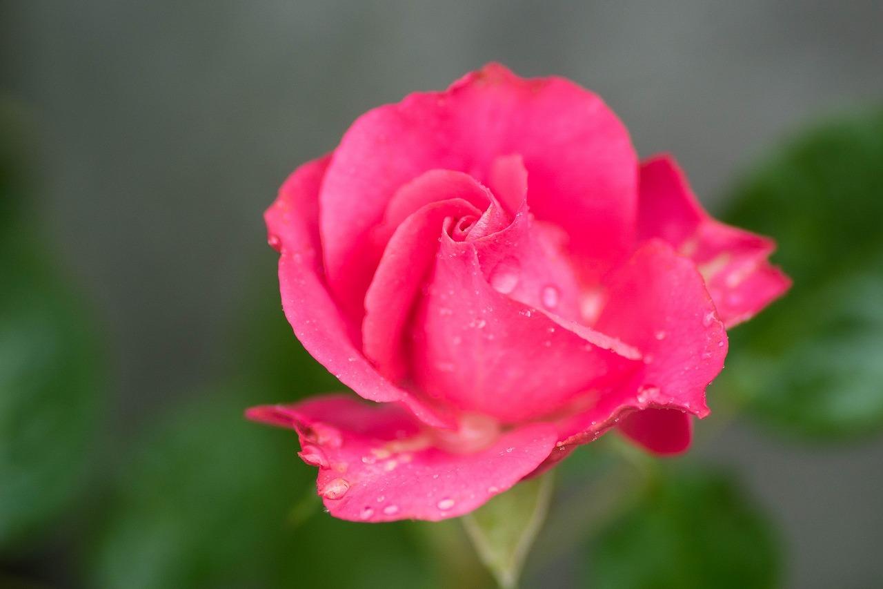 薔薇と紫陽花とメロ&ハモ_c0260264_14390081.jpg