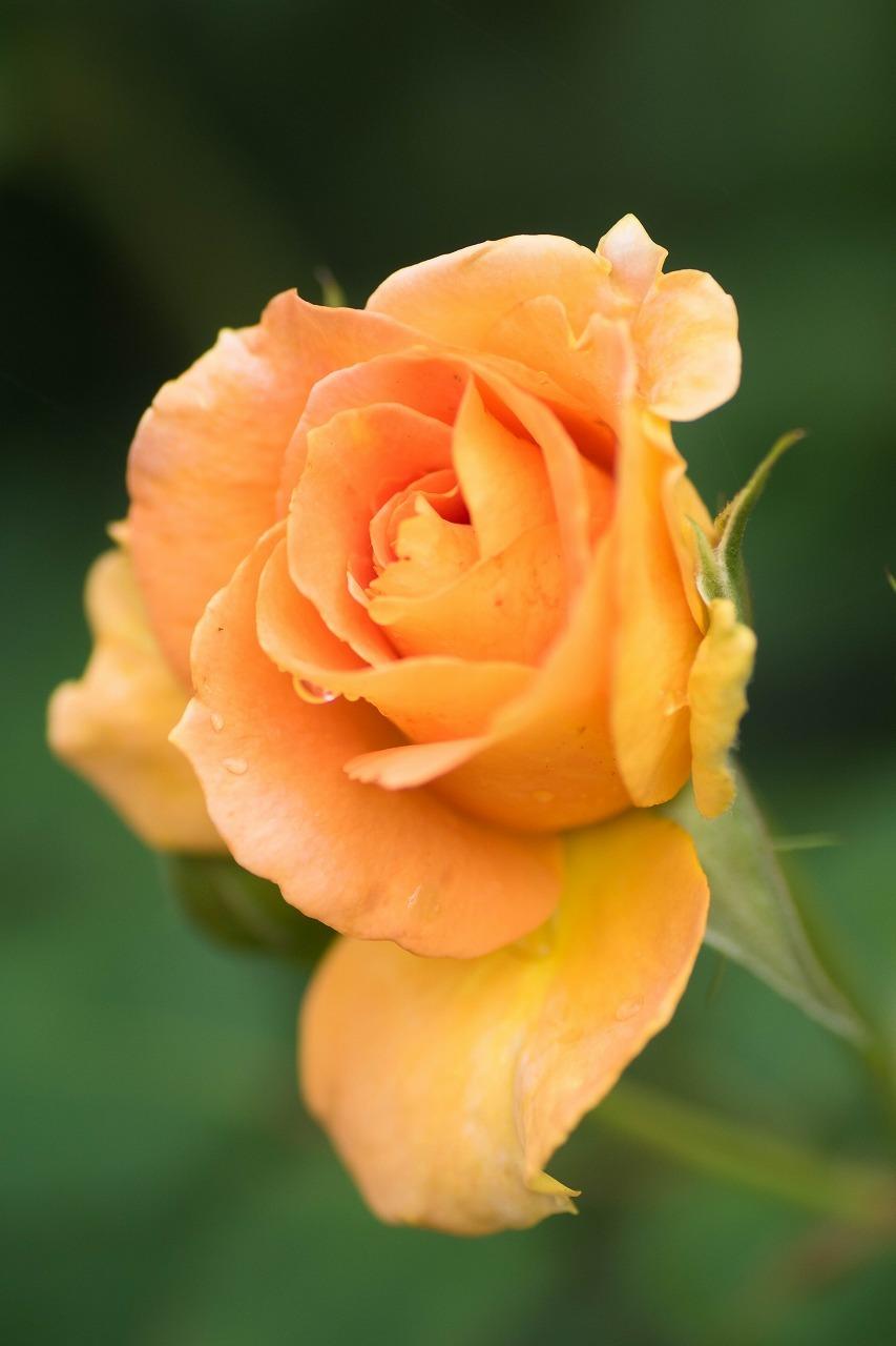 薔薇と紫陽花とメロ&ハモ_c0260264_14391204.jpg