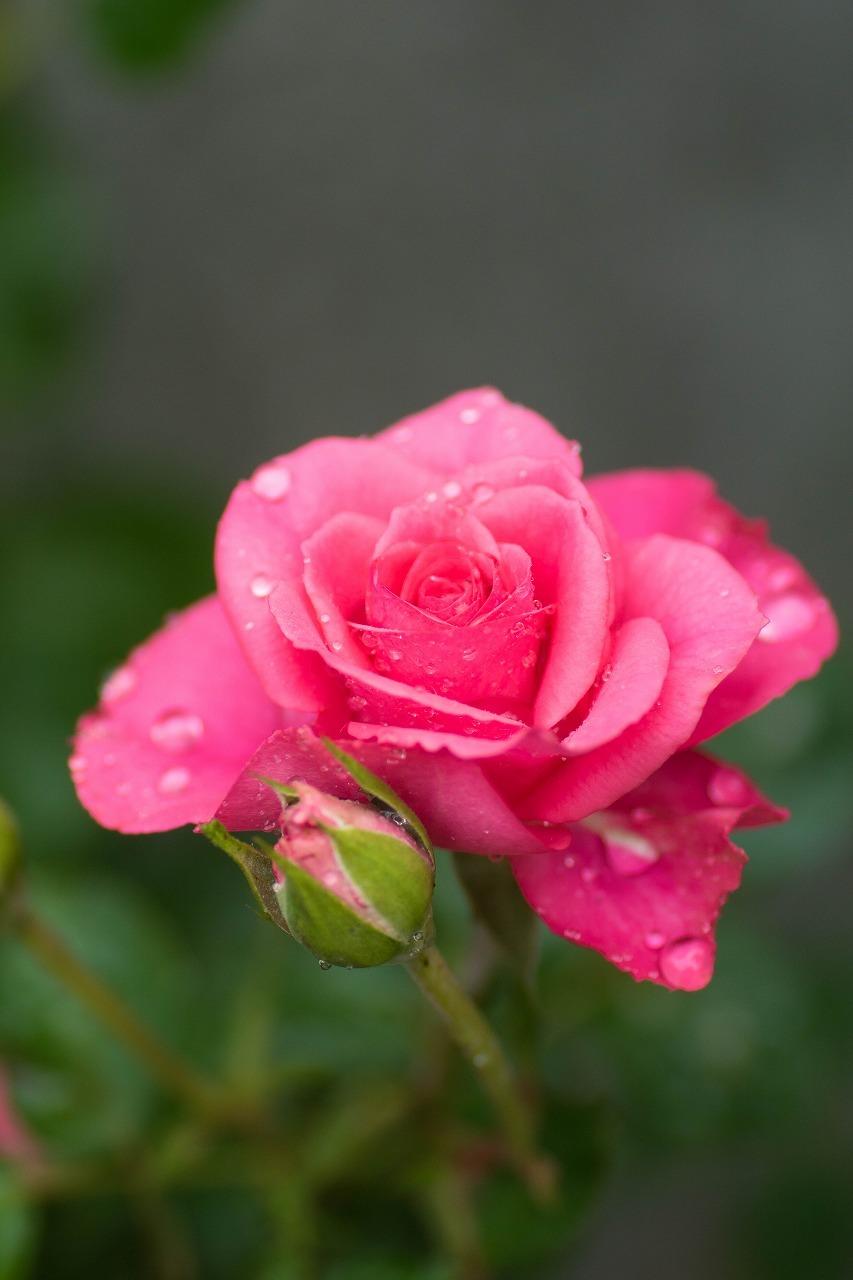 薔薇と紫陽花とメロ&ハモ_c0260264_14391272.jpg