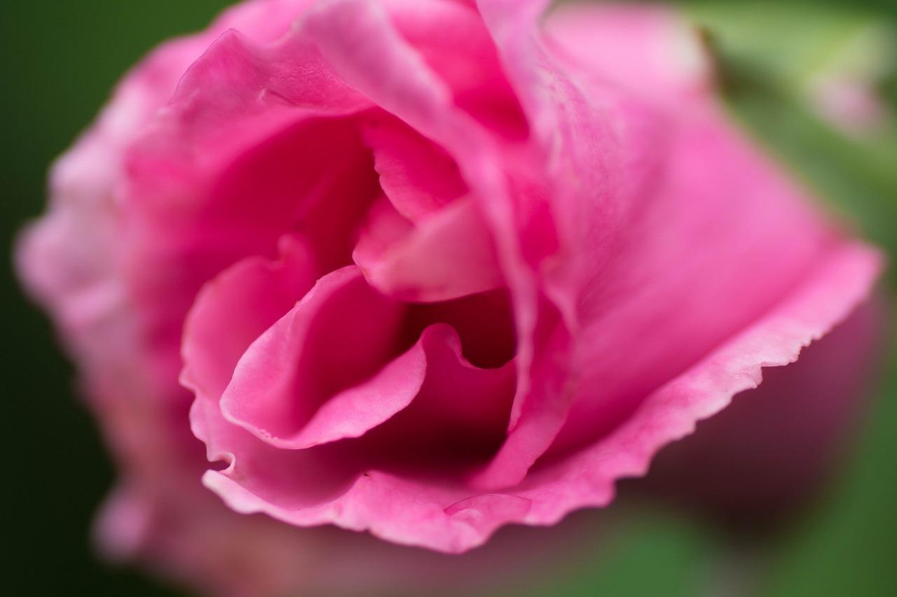 薔薇と紫陽花とメロ&ハモ_c0260264_14391287.jpg