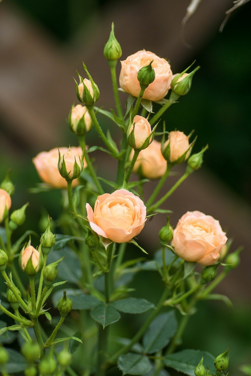 薔薇と紫陽花とメロ&ハモ_c0260264_14394707.jpg