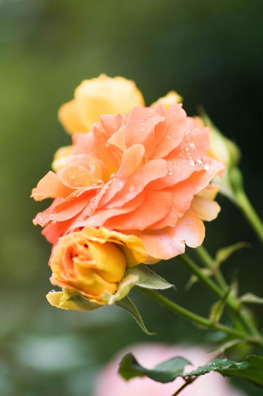 薔薇と紫陽花とメロ&ハモ_c0260264_14394850.jpg