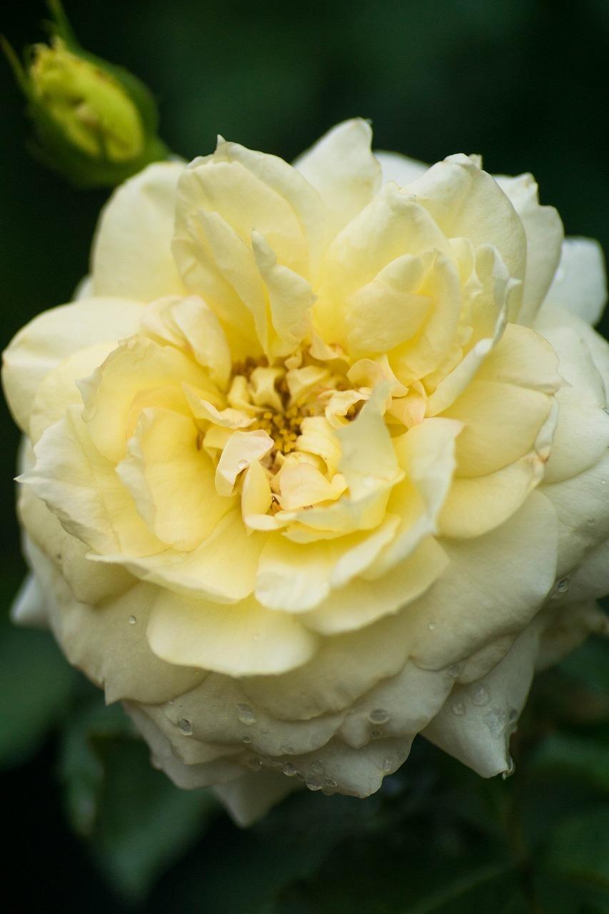 薔薇と紫陽花とメロ&ハモ_c0260264_14400350.jpg