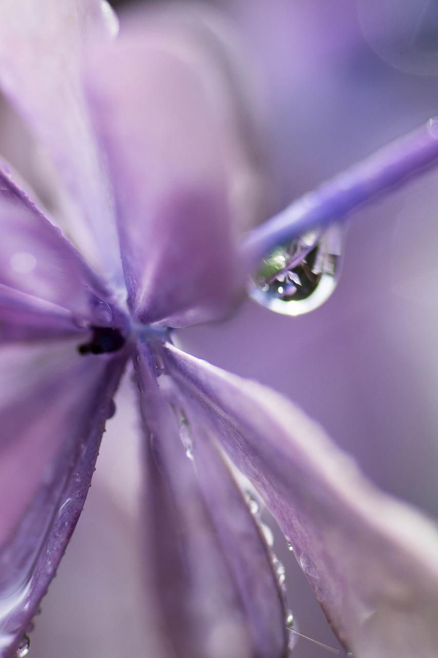 薔薇と紫陽花とメロ&ハモ_c0260264_14405234.jpg