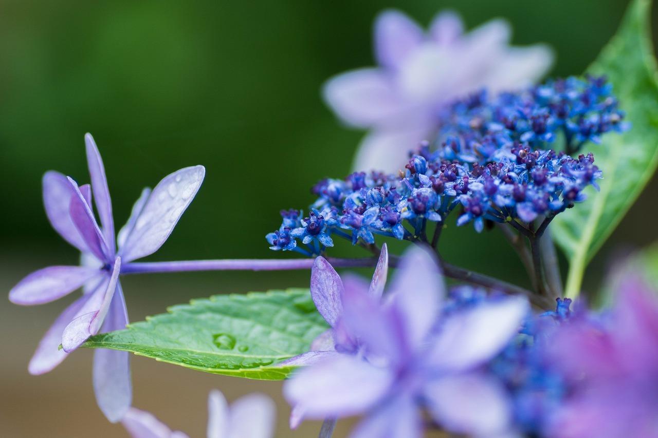 薔薇と紫陽花とメロ&ハモ_c0260264_14405262.jpg