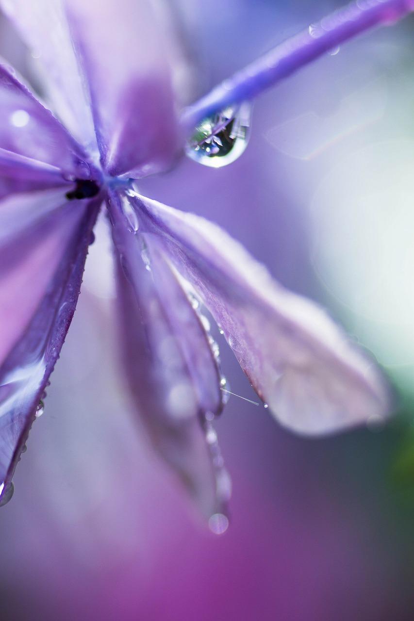 薔薇と紫陽花とメロ&ハモ_c0260264_14405374.jpg