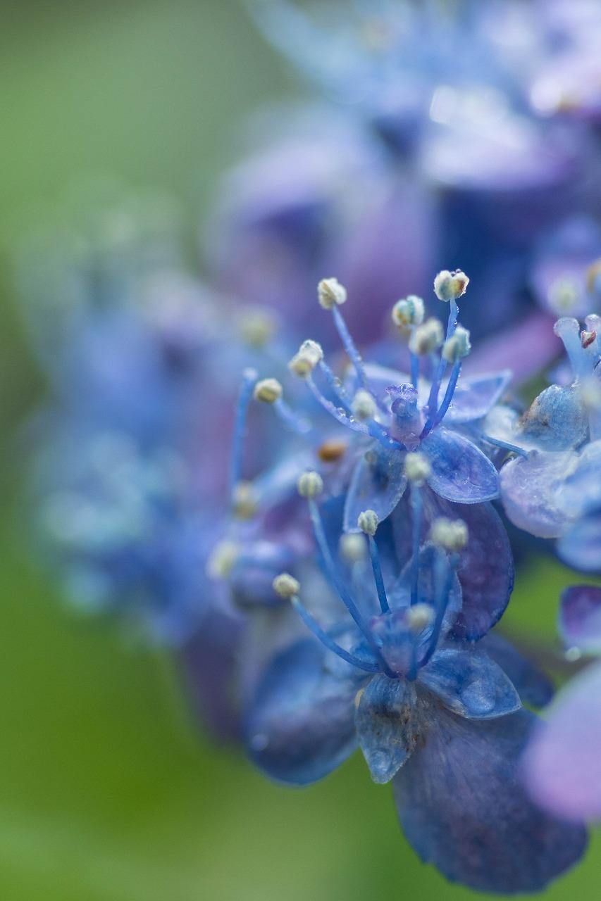 薔薇と紫陽花とメロ&ハモ_c0260264_14411059.jpg