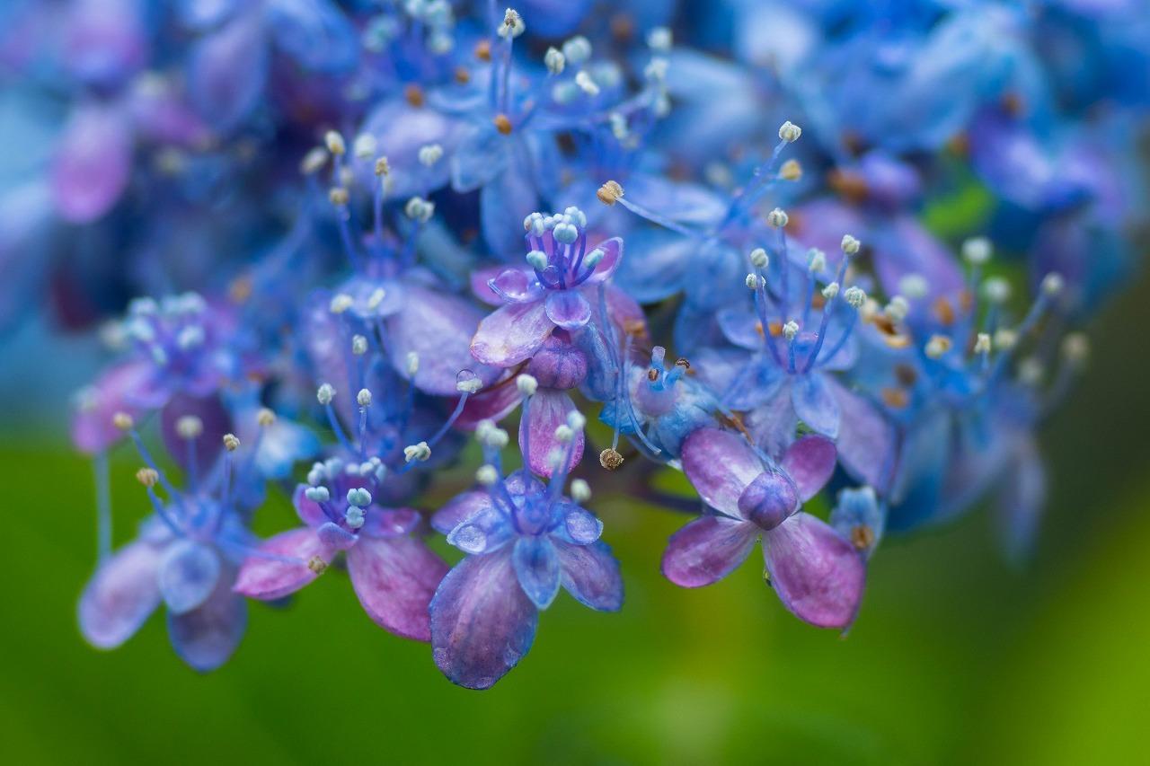 薔薇と紫陽花とメロ&ハモ_c0260264_14411062.jpg