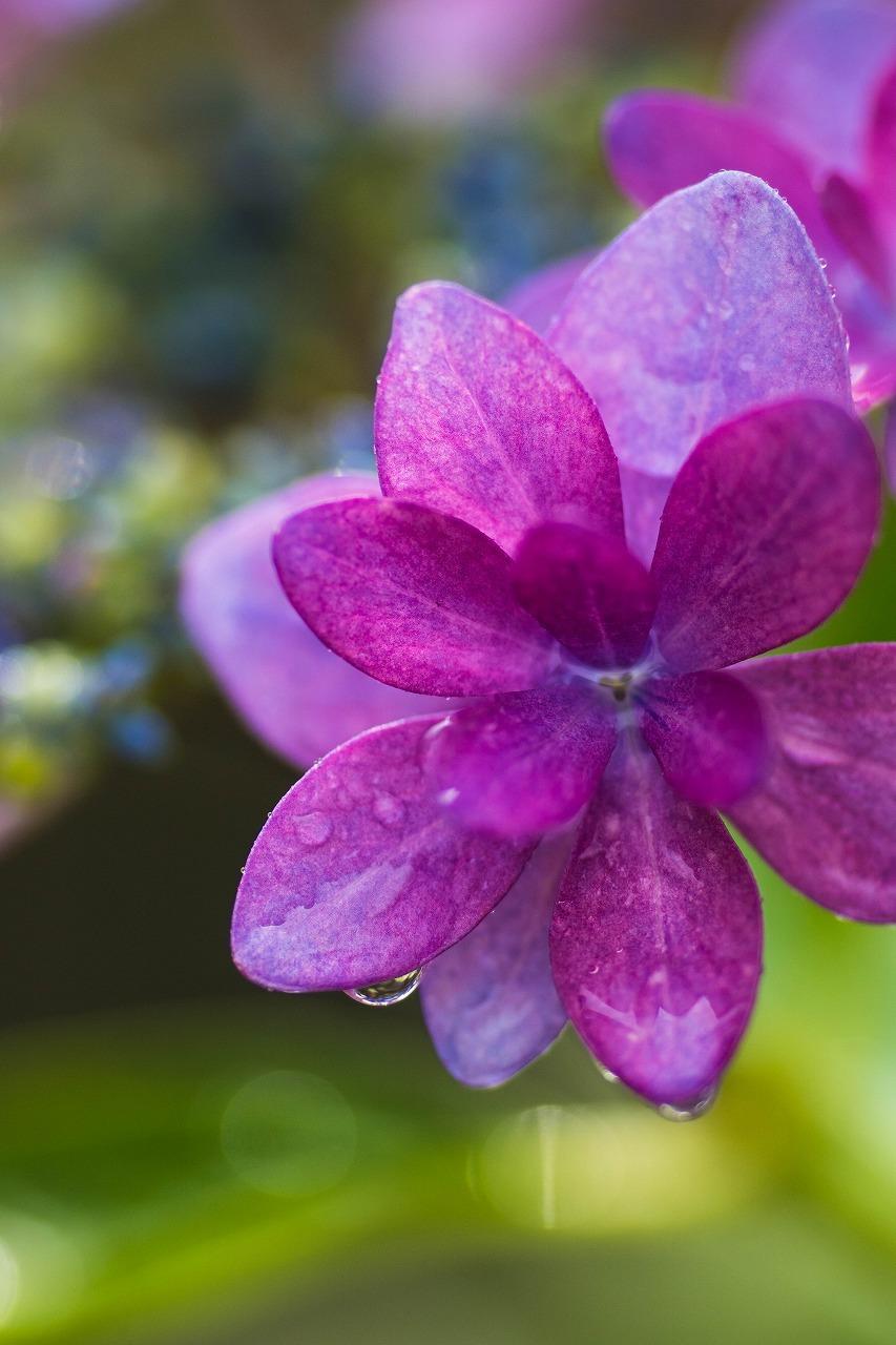 薔薇と紫陽花とメロ&ハモ_c0260264_14411090.jpg