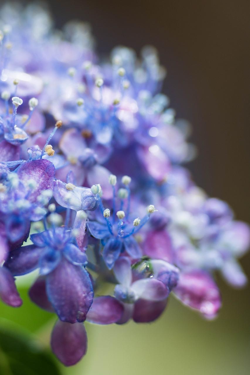 薔薇と紫陽花とメロ&ハモ_c0260264_14411172.jpg