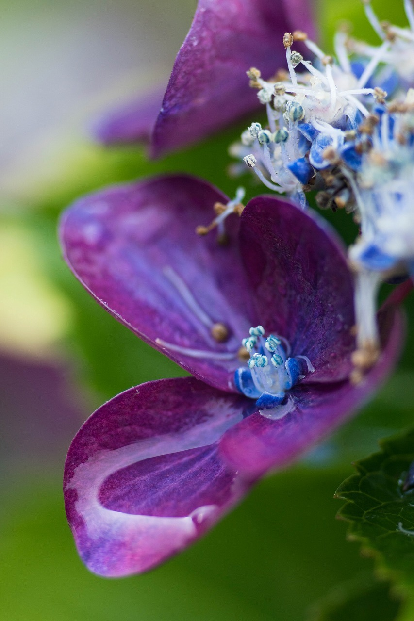 薔薇と紫陽花とメロ&ハモ_c0260264_14411197.jpg