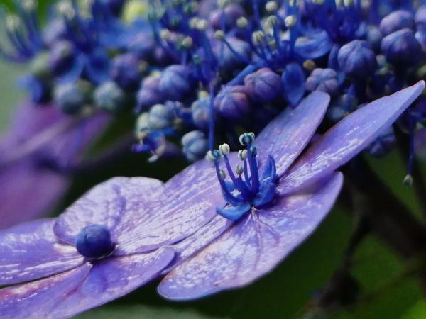 萼紫陽花_a0351368_12413243.jpg