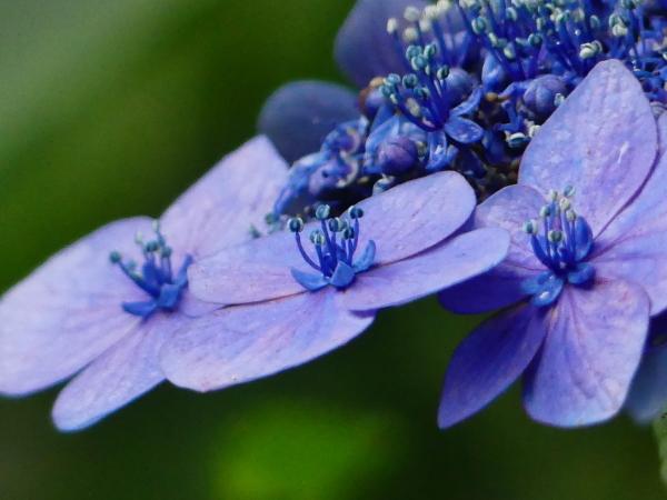萼紫陽花_a0351368_12414898.jpg