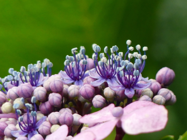 萼紫陽花_a0351368_12425880.jpg