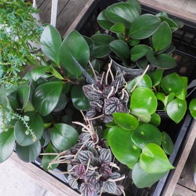 オークリーフ(テーブルサイズの観葉植物)_f0049672_16300347.jpg