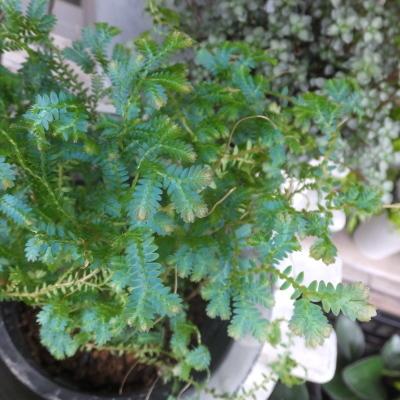 オークリーフ(テーブルサイズの観葉植物)_f0049672_16300895.jpg
