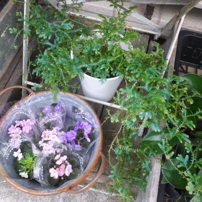 オークリーフ(テーブルサイズの観葉植物)_f0049672_16301479.jpg