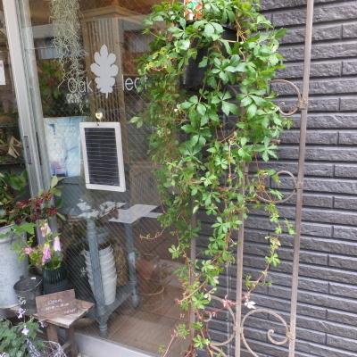 オークリーフ(テーブルサイズの観葉植物)_f0049672_16301922.jpg