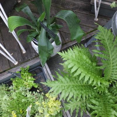 オークリーフ(テーブルサイズの観葉植物)_f0049672_16303120.jpg