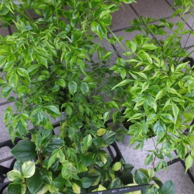 オークリーフ(テーブルサイズの観葉植物)_f0049672_16303623.jpg