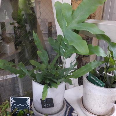 オークリーフ(テーブルサイズの観葉植物)_f0049672_16304017.jpg