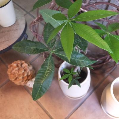 オークリーフ(テーブルサイズの観葉植物)_f0049672_16304558.jpg