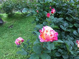 バラ園をはしご_e0182479_14533159.jpg
