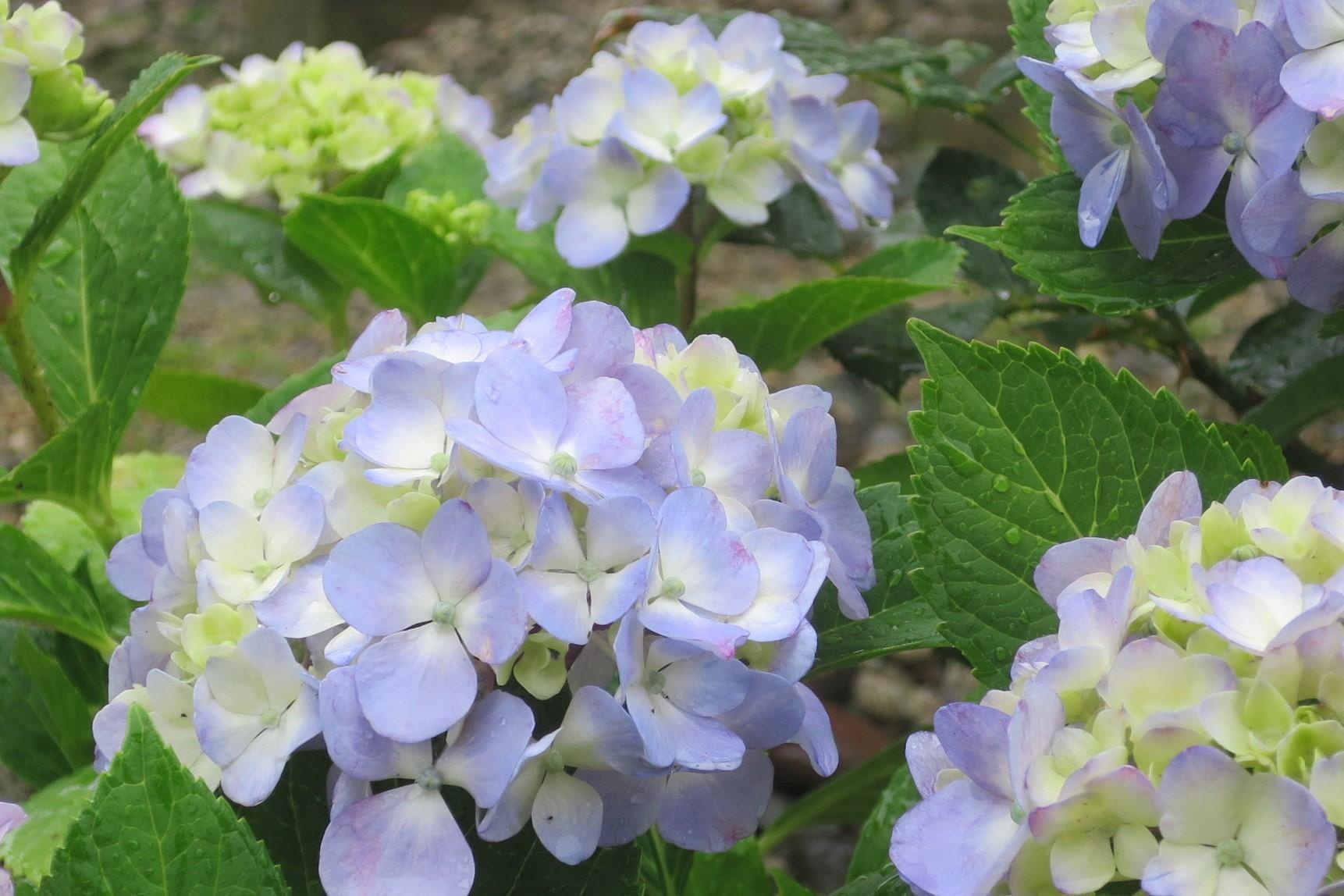 紫陽花など_a0214206_11224820.jpg