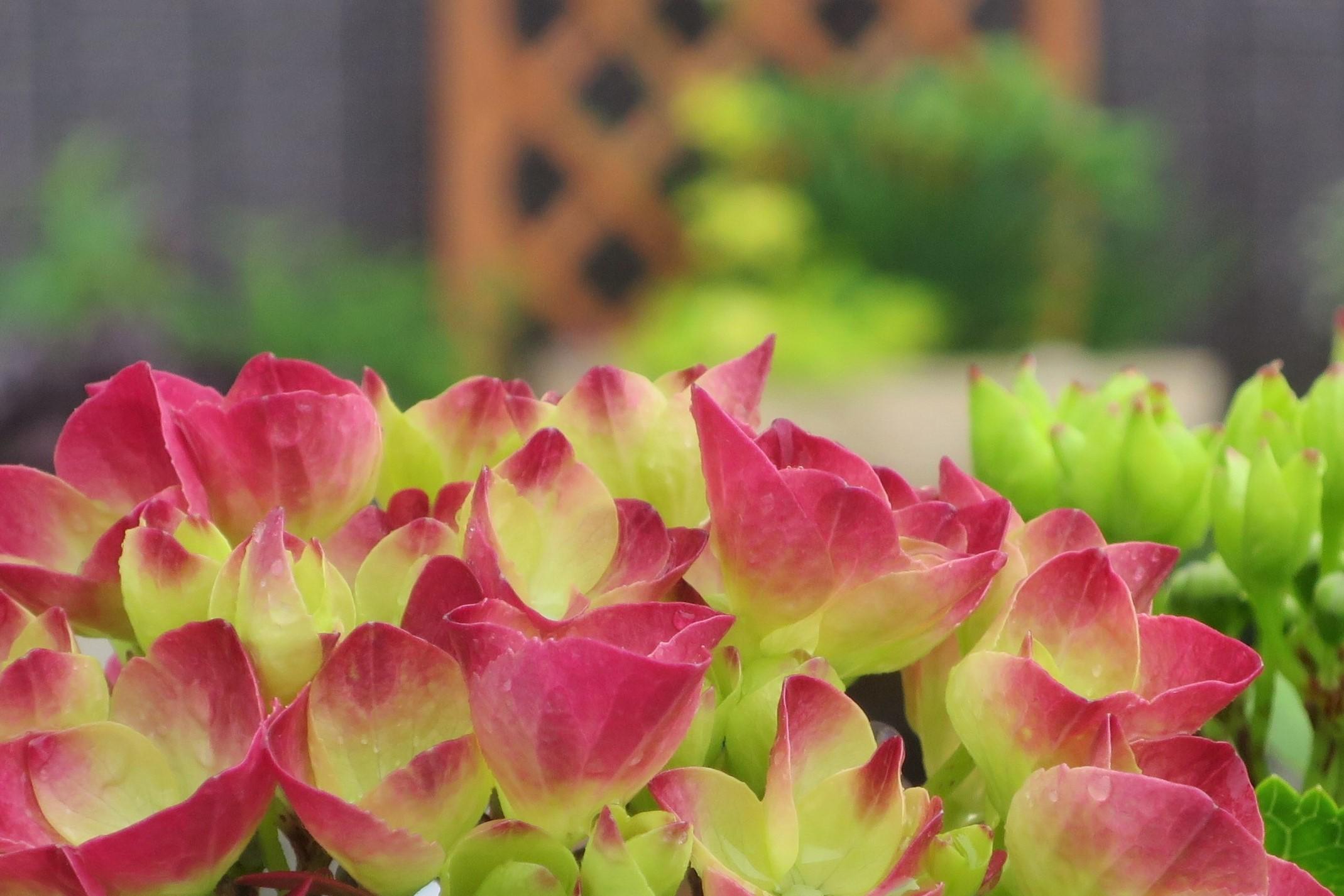 紫陽花など_a0214206_11231499.jpg