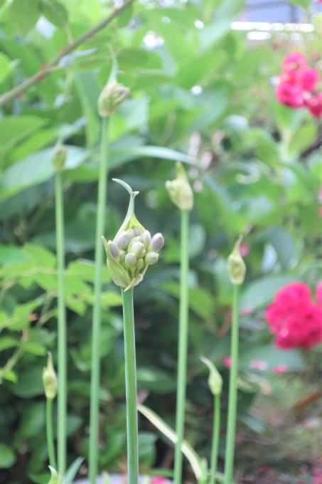 紫陽花など_a0214206_11255197.jpg