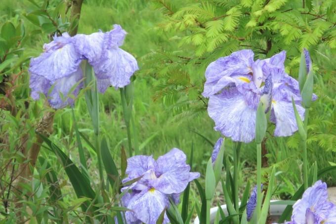 紫陽花など_a0214206_11265090.jpg