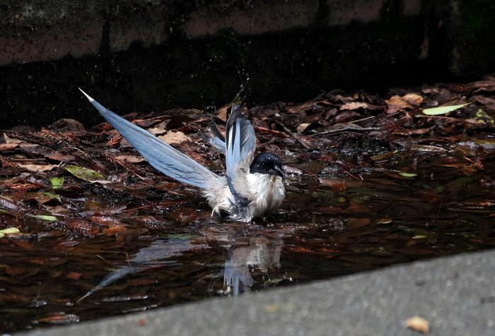 オナガの水浴び_f0239515_16503533.jpg