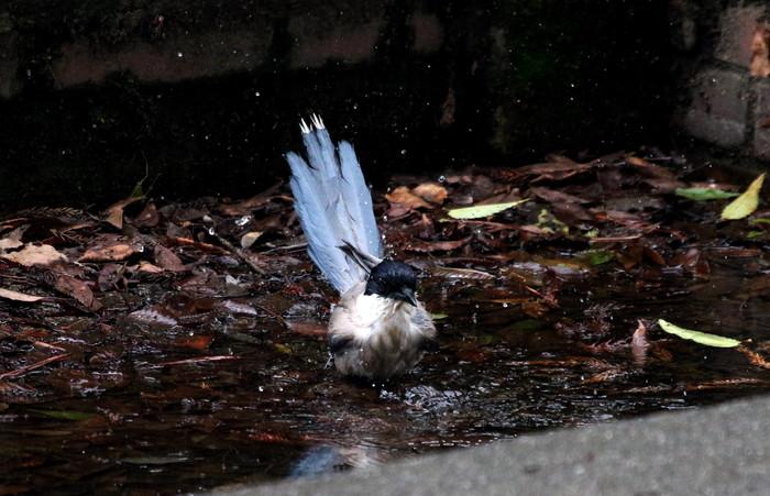 オナガの水浴び_f0239515_1651181.jpg