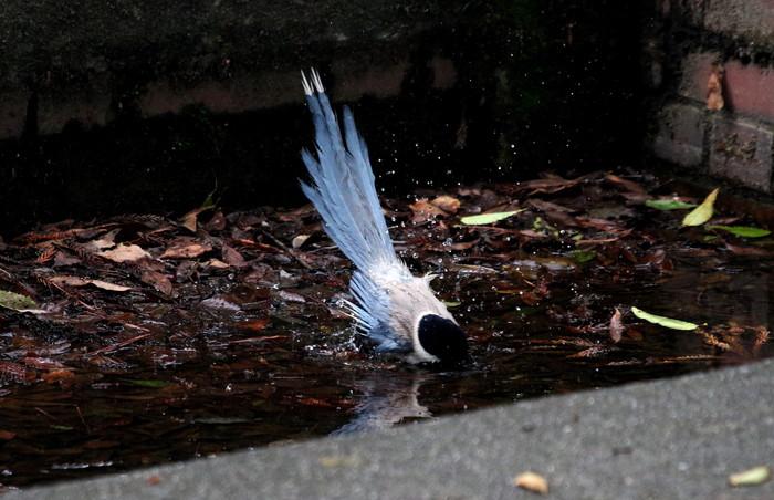 オナガの水浴び_f0239515_16513671.jpg