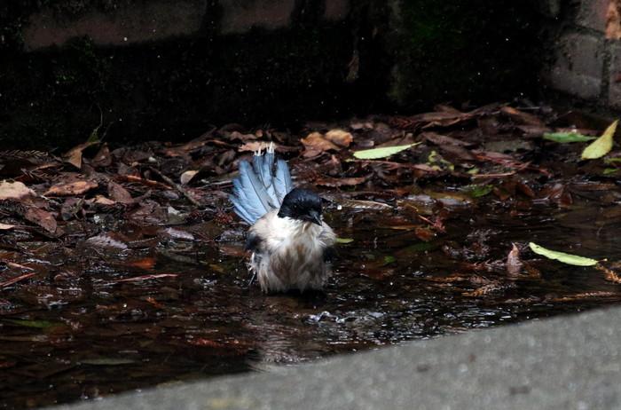 オナガの水浴び_f0239515_16515746.jpg