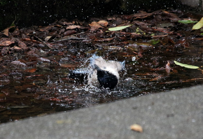 オナガの水浴び_f0239515_16521887.jpg
