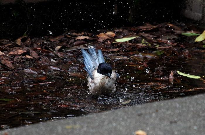 オナガの水浴び_f0239515_16524810.jpg