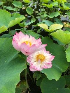 花はす広場とらんざんラベンダーまつり_b0007425_12250018.jpg